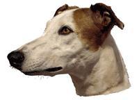 Greyhound tofarget