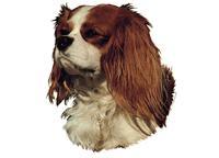 Cavalier king charles spaniel brun&hvit