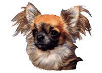 Chihuahua langhåret