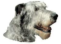 Irsk ulvehund lys